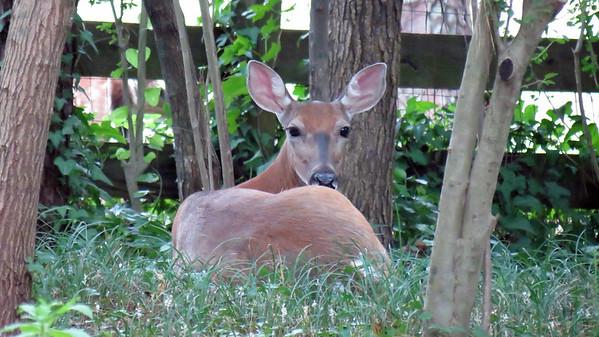 August 16, 2015:  Sleeping visitors in my back yard .  .  .