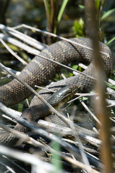 Water Snake - D2912
