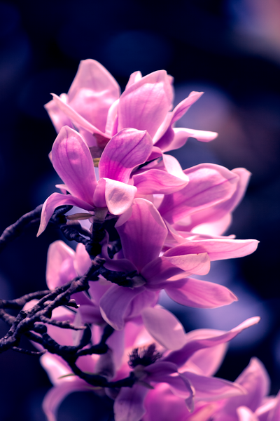 20120323_magnolia_01.png