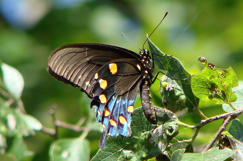 Pipevine Swallowtail (Battus philenor) male.  TX: Dallas Co. (Butterflies Unlimited-- Glenn Heights), 11 August 2007.