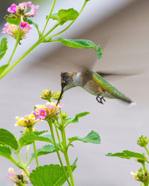Ruby-throated humming bird, 9