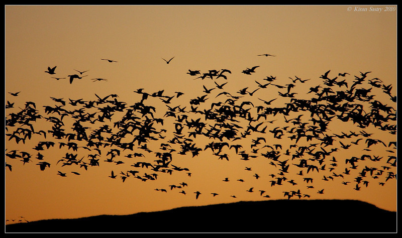Snow Geese early morning liftoff silhouette, Bosque Del Apache, Socorro, New Mexico, November 2010