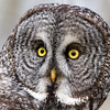 Great Grey Owl - Priddis Alberta