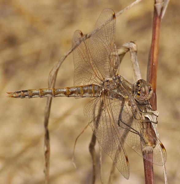 Sympetrum corruptum (Variegated Meadowhawk), TX