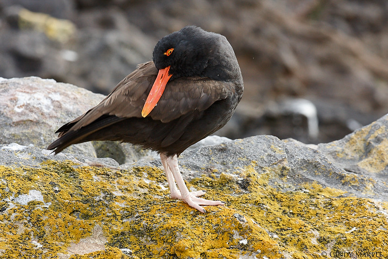 Blackish_Oystercatcher_3.jpg