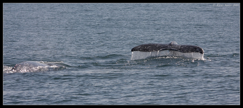 Mother and calf Gray Whales, Oceanside Pelagic Trip, San Diego County, California, January 2010