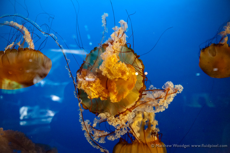 Woodget-140526-0460--aquarium, aquarium fish, blue, jellyfish, reflection.jpg