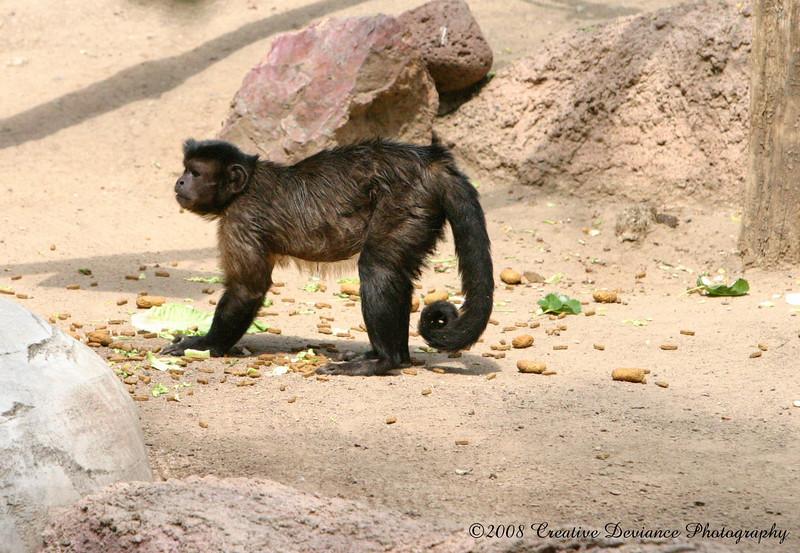 Brown Capuchin3.jpg