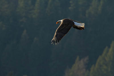 Coeur d'Alene Eagles 14 101