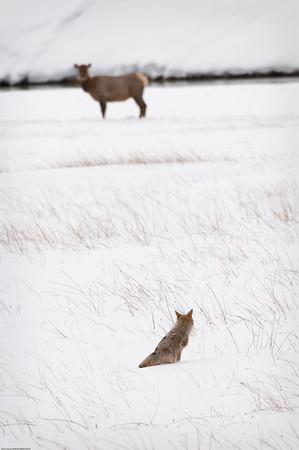 Yellowstone - January 2009