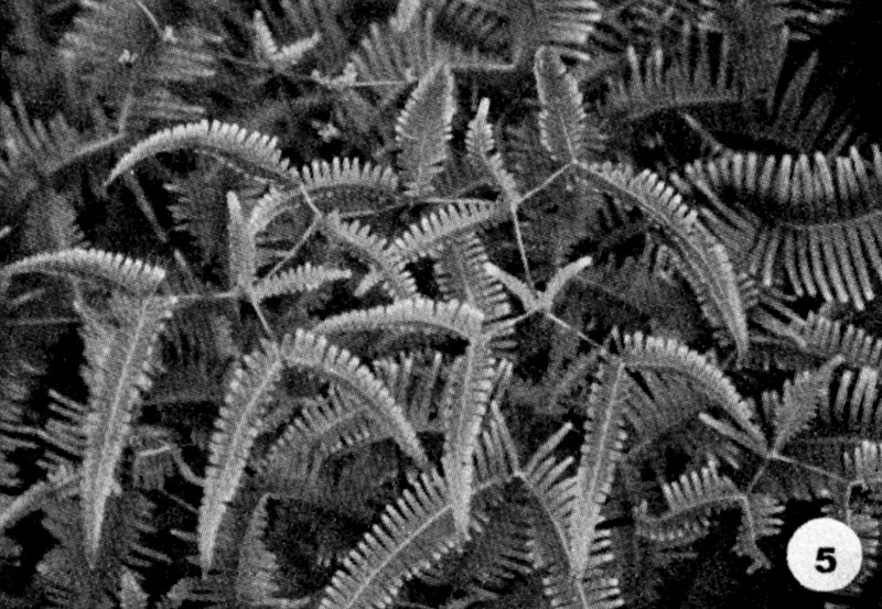 05. Dicranopteris linearis Image from the Kaala Bog Plant Guide: Kaala Natural Area Reserve, Mt. Kaala, Oahu, a 1992 publication of the State of Hawaii (DLNR/DOFAW) .