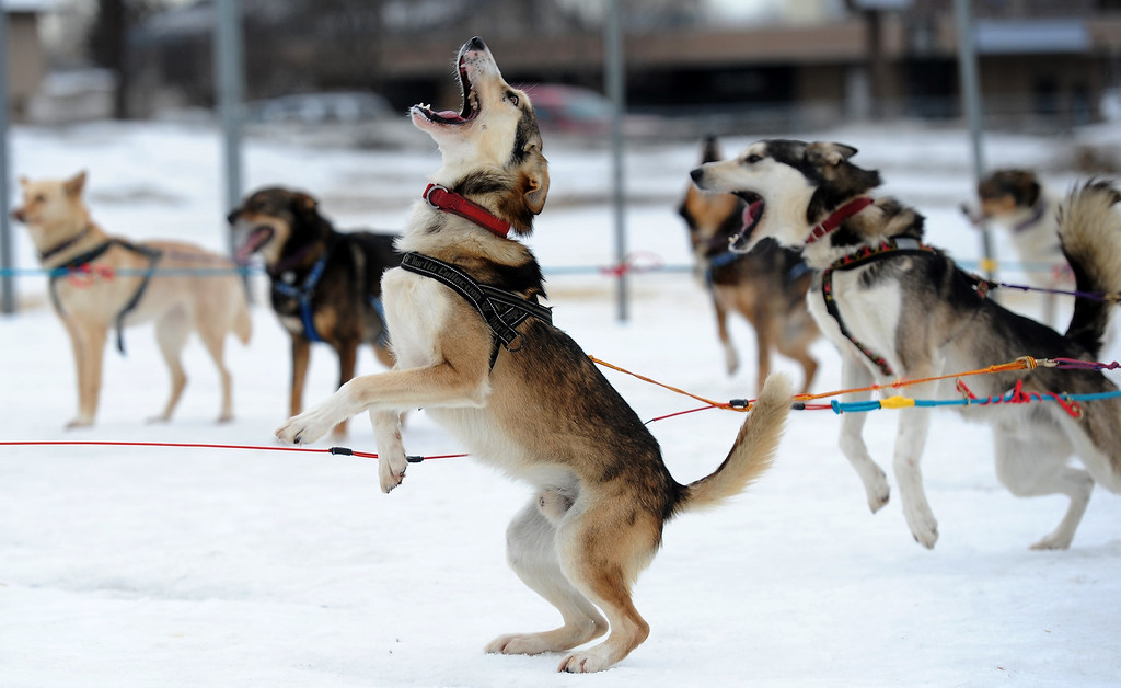 """. Saki is ready to go as Iditarod musher Michelle Phillips of Tagish, Yukon, takes her dogs out for a run on Friday, Feb. 28, 2014, at Tozier Track in Anchorage, Alaska. \""""We\'re just doing a little stretching-out run,\"""" she said. \""""They\'ve been in the truck a long time.\"""" Several mushers visited the track Friday in preparation for Saturday\'s ceremonial start of the Iditarod Trail Sled Dog Race. (AP Photo/Anchorage Daily News, Erik Hill)"""