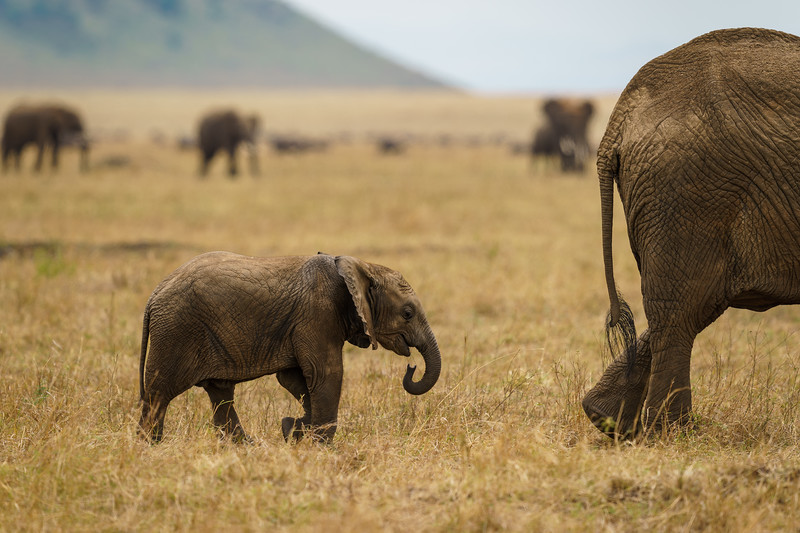 Elephant Calf Following