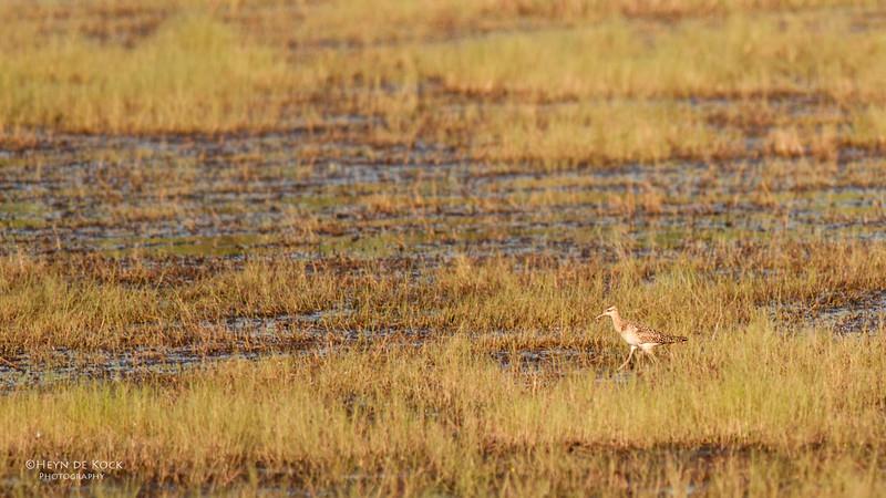 Little Curlew, Darwin, NT, Sept 2010.jpg