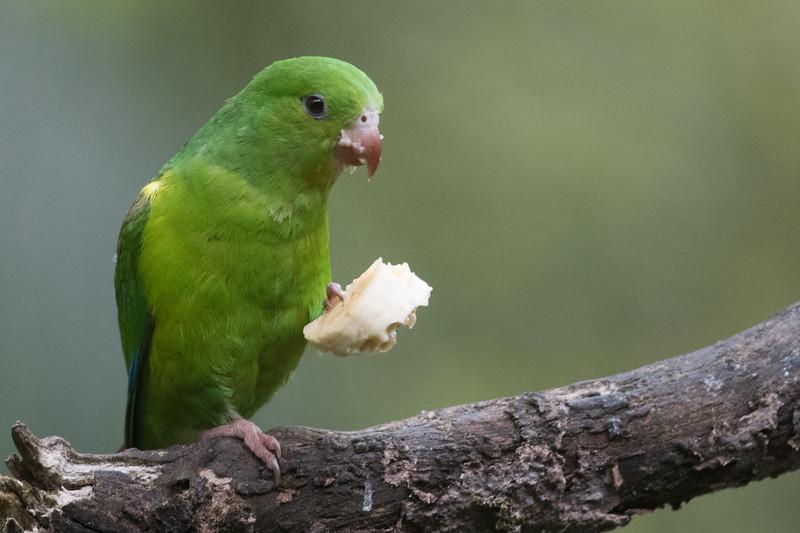 Wild Green Rumped Parrotlet