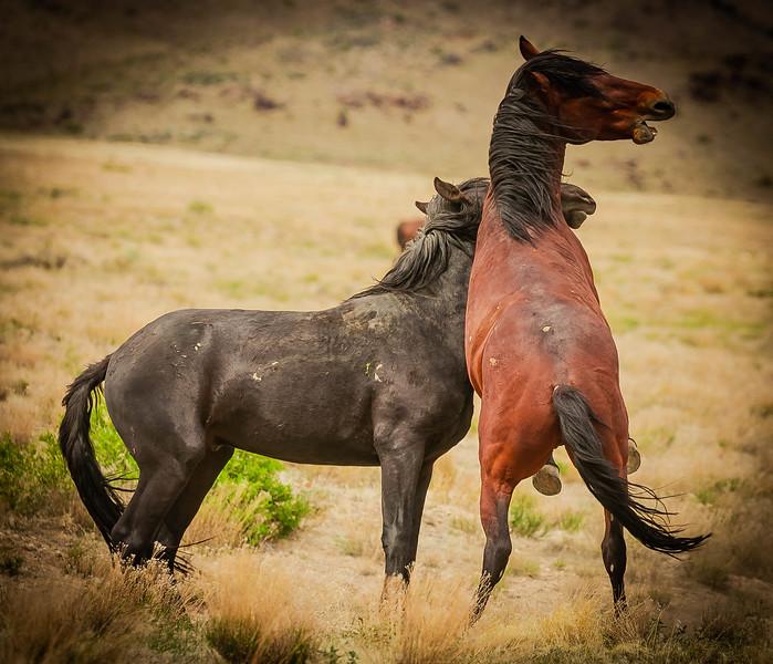 black & brown fighting.jpg