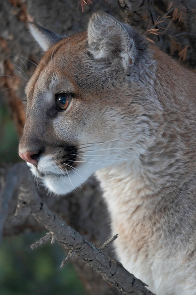 Mountain Lion mom profile_.jpg