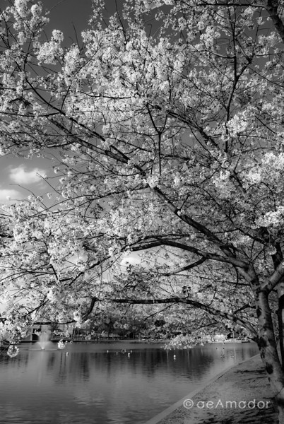 """Cherry Blossom by the Lake""