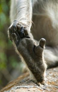 Hanuman Toes