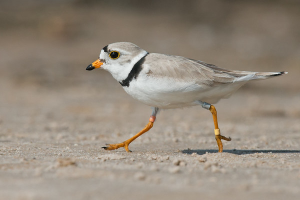 SHOREBIRDS: PLOVERS, SANDPIPERS, WOODCOCKS, SNIPES