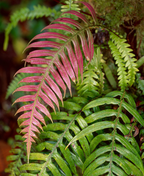 El Triunfo Biosphere Reserve, Chiapas, MEX / Wood ferns, some rosy colored, ring the moss covered tree in the dense forest understory. 408V2