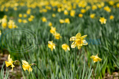 3/6/19 Mrs. Lee's Daffodil Garden by Chelsea Purgahn