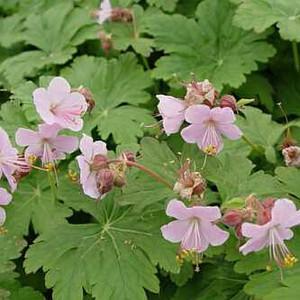Geranium macrorrhizum 'Ingwersens Variety'.jpg