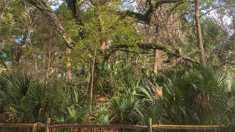 Live oak atop midden