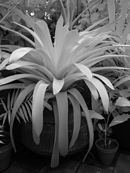 Conservatory of Flowers - in IR