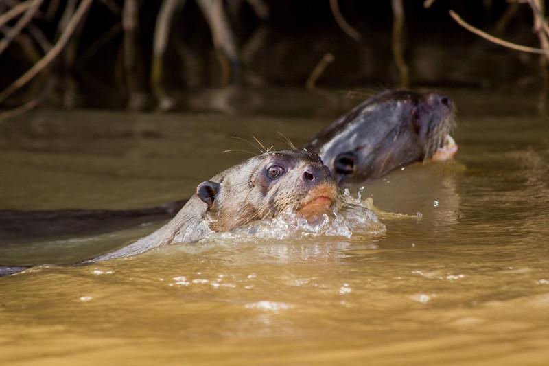 Giant Otter of the Pantanal-4.jpg