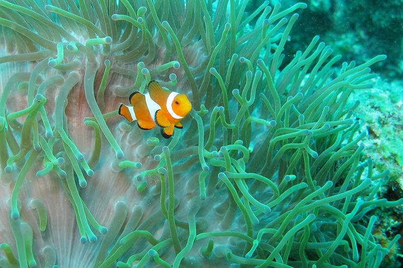 IMG_7497Ar_False Clown anemonefish (Amphiprion ocellaris).JPG
