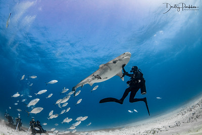 Diving with tiger sharks and Great Hammerheads