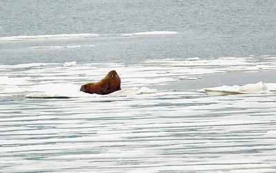 Walrus 6/23