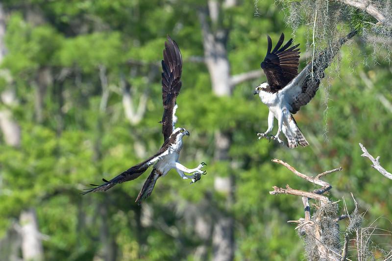 2021_KSMetz_Florida_Osprey Trip_April06_NIKON D5_0599-Enhanced.jpg