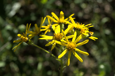 Small Blacktip Ragwort
