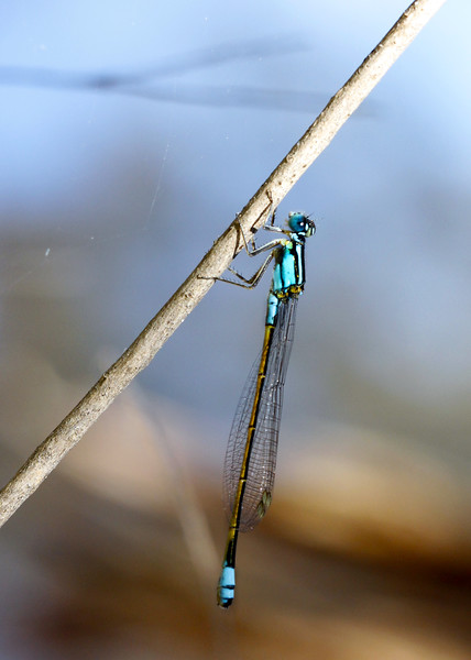 Common Bluetail - Ischnura heterosticta<br /> <br /> Damselflies usually are slender, smaller than dragonflies and at rest lay their wings alongside their body.  Their eyes are separated whilst the dragnflies are joined.<br /> <br /> Canon 60D 100mm 2.8 EF Macro lens.