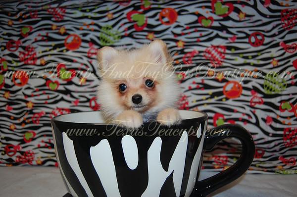 """""""Simba"""" Male Pomeranian Puppy # 2741"""