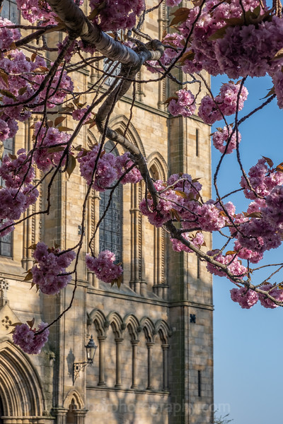 Ripon Cathedral & cherry blossom-57.jpg
