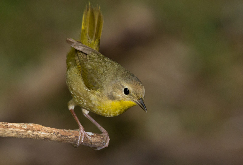 Common Yellowthroat female or possibly a Nashville Warbler.