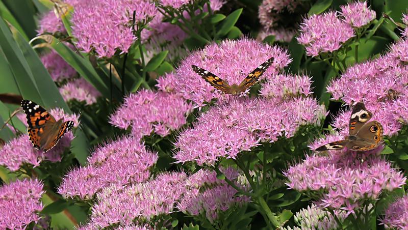 sx50_butterflies_flora_269.jpg