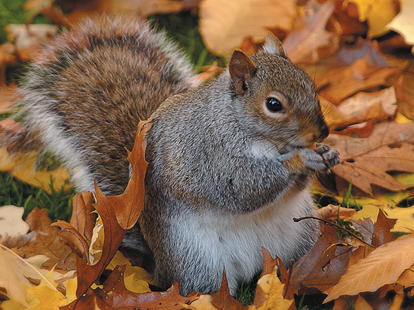 Kamikaze squirrel injures squirrel-hating Chicago politician in weird act of God