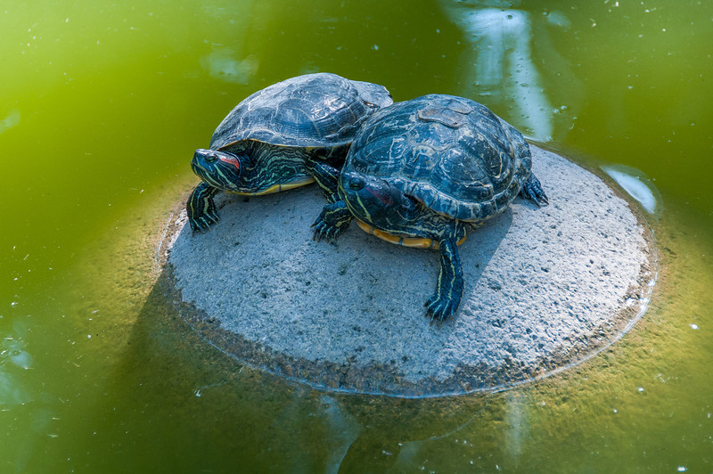 Turtles at the Palmeral of Elche in Spain