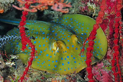 Ribbontail Ray