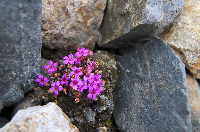 Purple in the Moraine