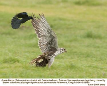 Prairie Falcon A & California Ground Squirrel 68789.jpg