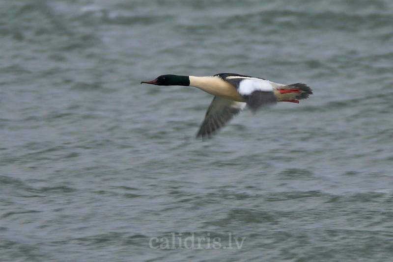 Goosander in flight, winter (male, breading plumage)