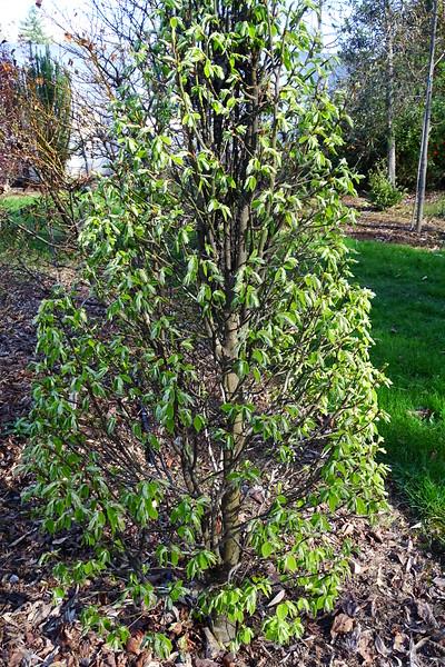 Carpinus betulus 'Nana'