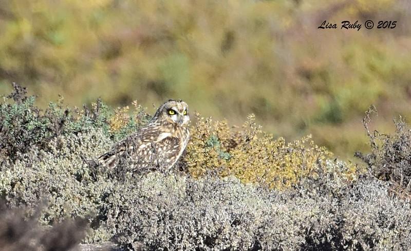 Short-eared Owl - 11/22/2015 - Salt Works