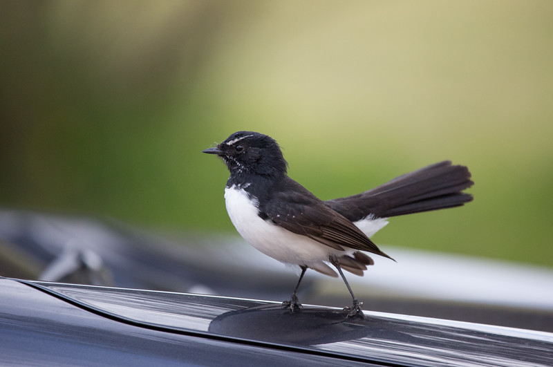 Willie wagtail, South Australia