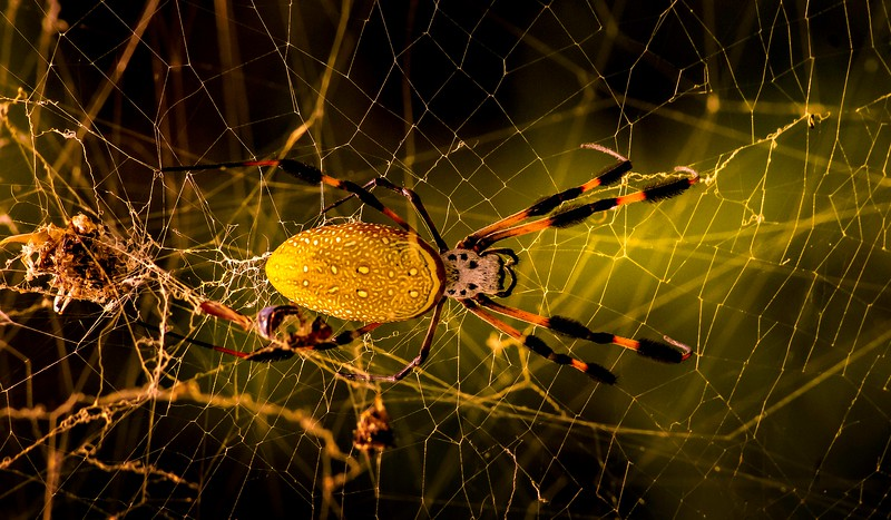 Spiders-Arachnids-159.jpg